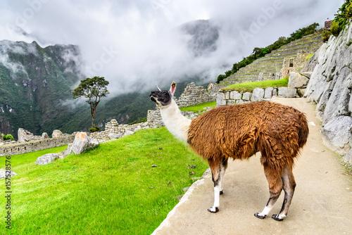 Poster Lama Lama at Machu Picchu, Sacred Valley, Cusco - Peru