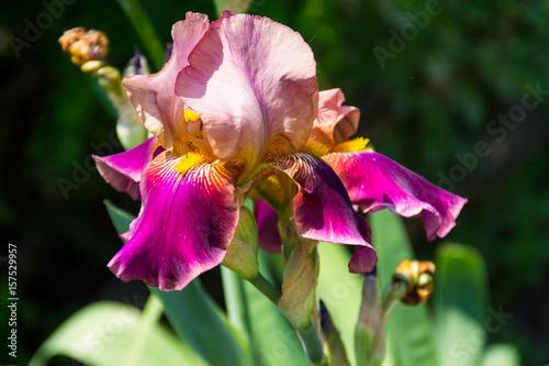 Purple iris flowers on flowerbed