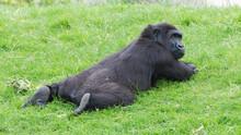 Gorilla Lying, Funny Monkey