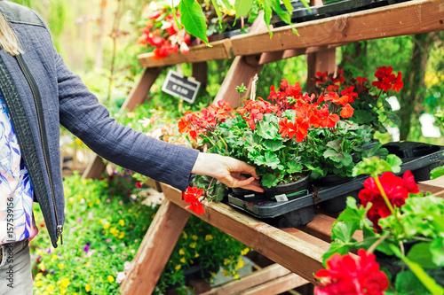 woman pick pelargonium geranium flower from shelf at garden plant nursery store