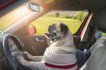 Mops Steuert Das Auto
