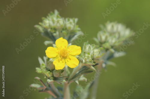 Valokuva  Blossom of a Potentilla argentea, a cinquefoils species