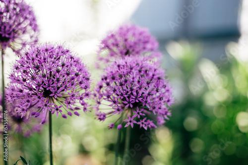 Fototapety, obrazy: Purple flowers