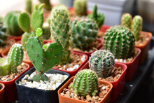 Small Cactuses And Succulents At The Flower Shop.Cactus Succulent Plant In Flowerpot ,Houseplant Concept