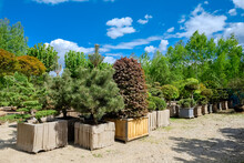 Pine And Fir In Pots And Bonsa...