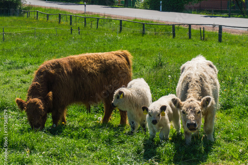 Plakat  Scottish cow with calves