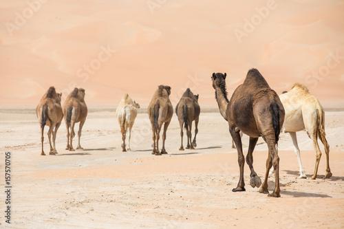 Spoed Foto op Canvas Portrait of camels in the desert.