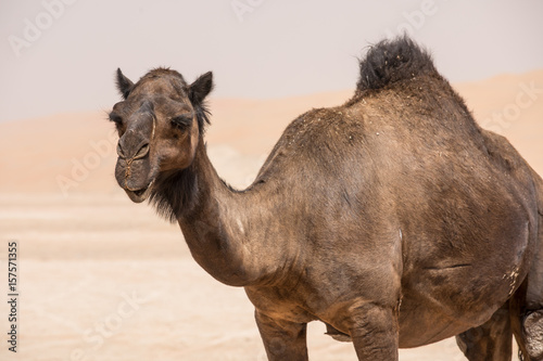 Poster Chameau Portrait of a camel in the desert.