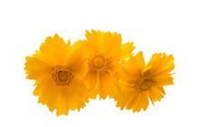 Yellow Flower Coreopsis Isolated
