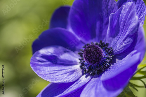 Closeup Macro Shot of Blue Anemone Located in National Dutch Keukenhof Garden in Netherlands.