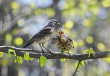 Bird Thrush Feeding Her Little...