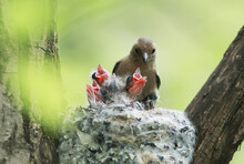 Chaffinch Feeds Its Young Mou...