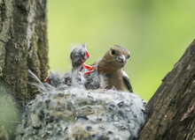 Bird Chaffinch Feeds Its Young...