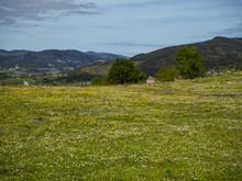 Campo De Margaritas Y Otras Flores, Cerca Del Bosque Animado De Ibarrola, En Vizcaya, País Vasco, Visitado En Abril De 2017