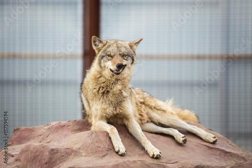 Fényképezés  Gray wolf lying on the rock