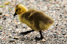 Very Young Gosling Crossing A ...