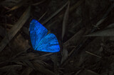 buttefly in the color blue celestial in the middle of leaves dry
