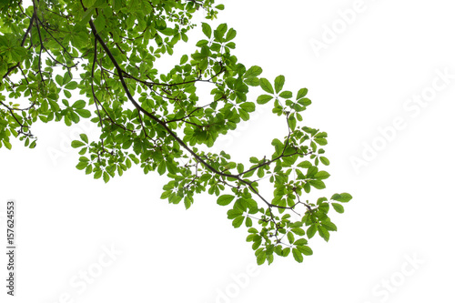 branch of green leaf isolated on white background with copy space for backround, Canvas Print