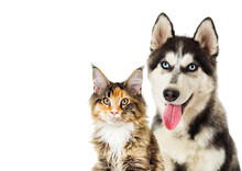 Portrait Of Siberian Husky And Cat Maine Coon On White Background