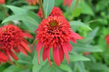 Brilliant Red Coneflower In Bloom