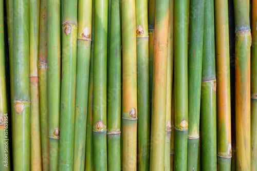 Fotografia  Green Bamboo for background.