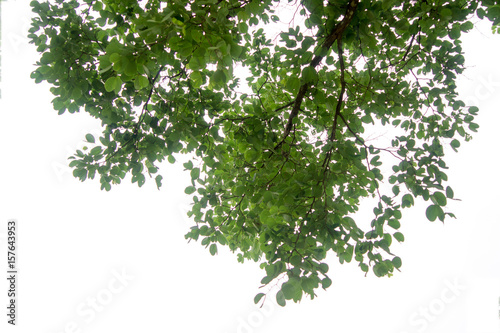 Valokuvatapetti Green tree branch isolated