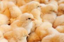 Young Baby Chicks