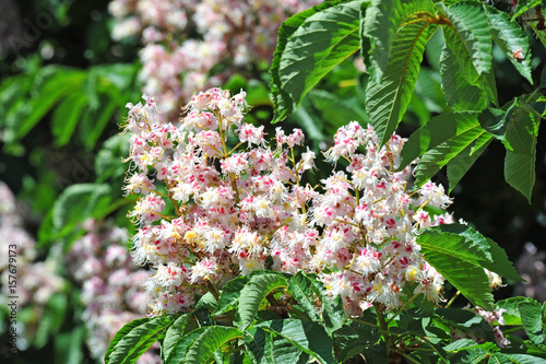 Photo Spring blossoming chestnut (Castanea sativa) flower