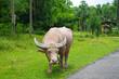 Albino buffalo in Thailand