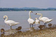 Mute Swans (Cygnus Olor) And Ducks On The Edge Of Lake