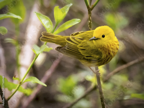 Bird Yellow Warbler Avian Bird Migration Warbler Animal Beak nature feather colo Canvas-taulu