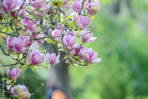 Plakat Wiosna kwitnący Magnoliowy kwiat