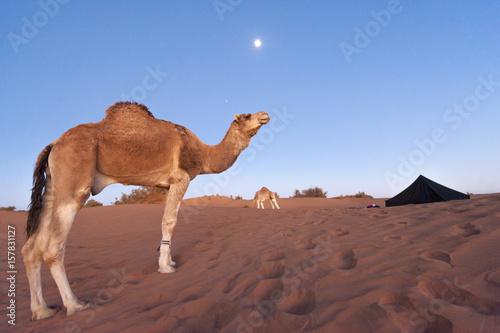 Poster Chameau Erg Chigaga, Sahara desert, Morocco, Northern Africa.