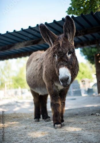 Poster Ezel Donkey portrait