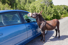 Curius Wild Donkey Approaches ...