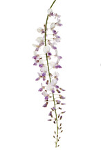 Wisteria Flowers Against White