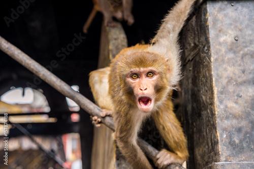 Scary Rhesus Macaque Monkey At Swayambhunath Temple In Kathmandu Nepal