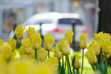 Yellow Tulips After Rain On A ...