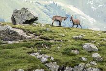 Ibex At High Altitude Around L...