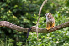 Portrait Of Squirrel Monkey Sa...