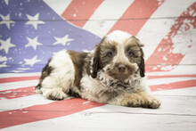Schnoodle On American Flag Background