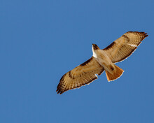 Red Tailed Hawk Soaring Agains...