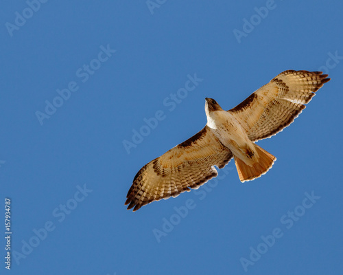 Red tailed hawk soaring against cloudless sky Canvas Print