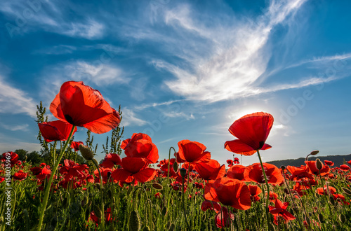 Papiers peints Poppy poppy flowers field in mountains