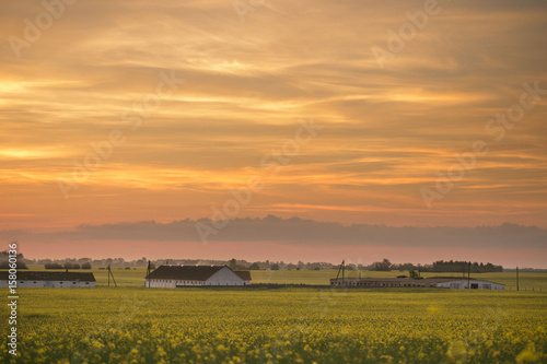 Poster Miel Yellow rapeseed field at sunset in the village