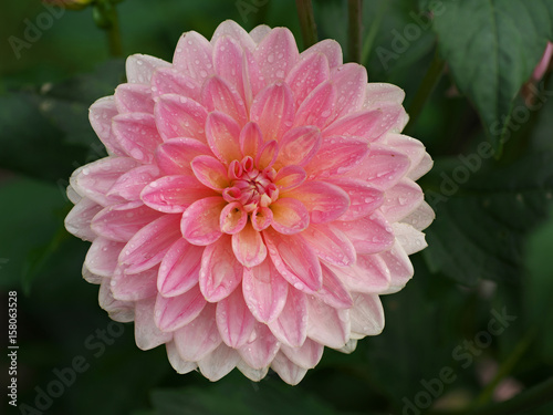 In de dag Dahlia Pretty pink dahlia flower with dew drops in morning, dahlia after rain