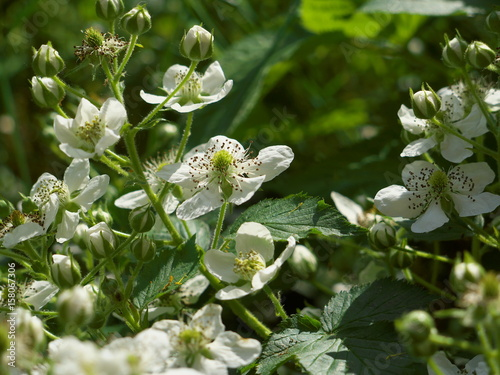 Valokuva  Flowers of blackberry. White flowers garden dewberry