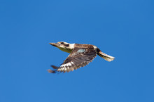Kookaburra ワライカワセミ kingfisher