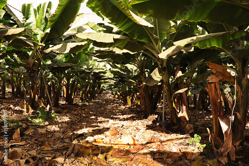 Tuinposter Canarische Eilanden Large banana plantation, with beautiful and healthy trees, valuable local industry in Tenerife, Canary Islands, Spain