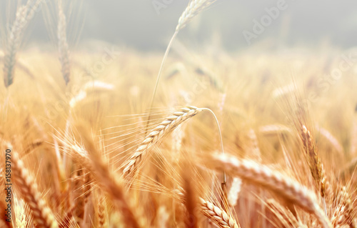 Poster Amsterdam Spikelets of wheat, illuminated by bright sunshine